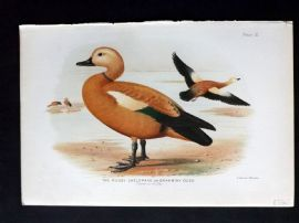 Baker & Gronvold Indian Ducks 1908 Bird Print. Ruddy Sheldrake or Brahminy Duck